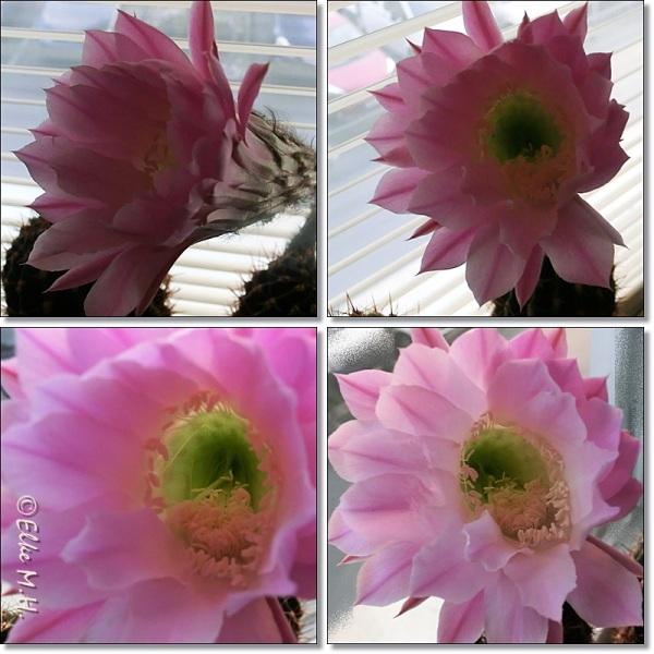 Collag2082014Echinopsis