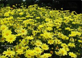 Yellow Feld 1