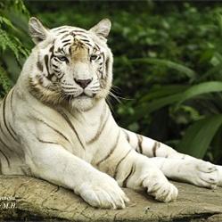 Weiser Tiger