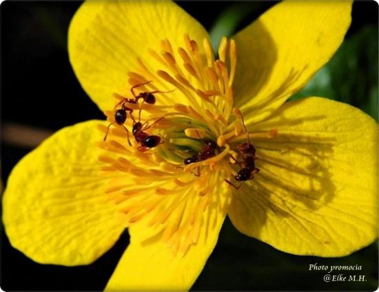 ameisenblume