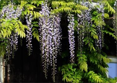 wisteria1