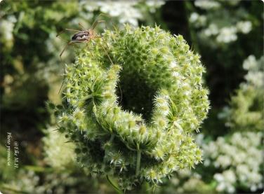 Nestförmig eingerollte Fruchtdolde
